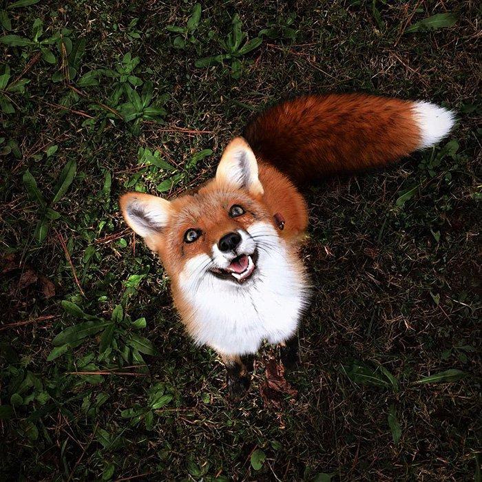 fox-foxy