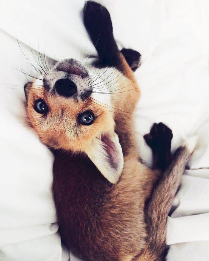 fox-y