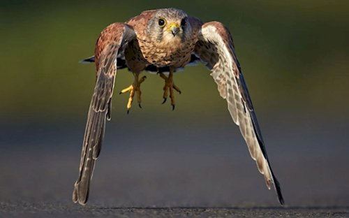 fresh-angle-kestrel
