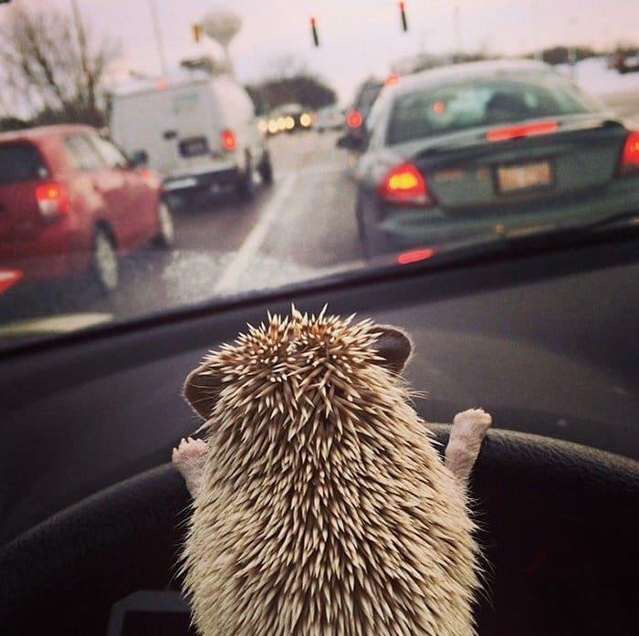 hedge-drive