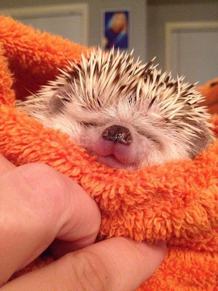 hedge-hog-adorable