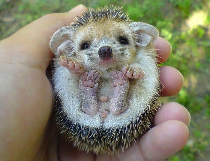 hedge-hog-baby