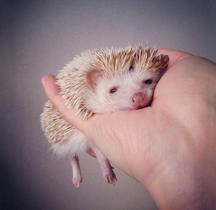 hedge-hog-cute