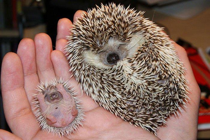 hedge-hog-mum-baby