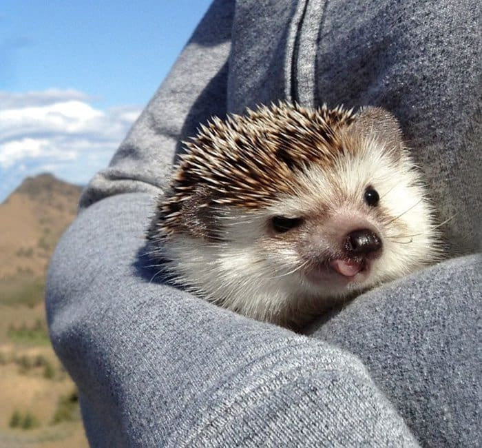 hedge-hog-tongue