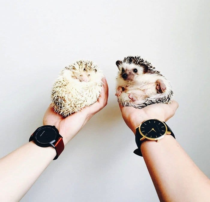 hedgehog-due
