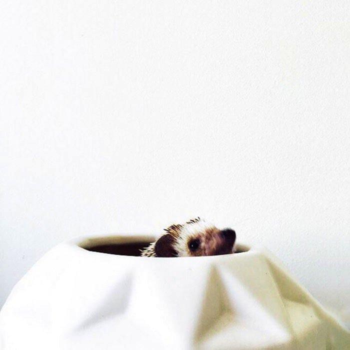 hedgehog-peeping