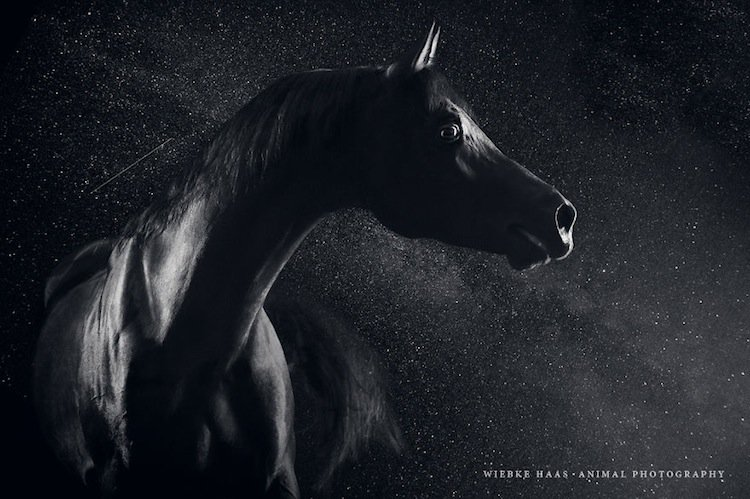 horse-arabian