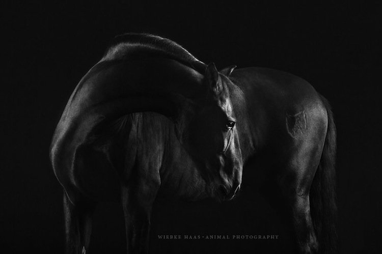 horse-black