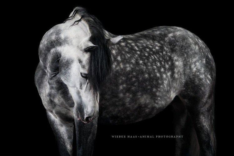 horse-dapple