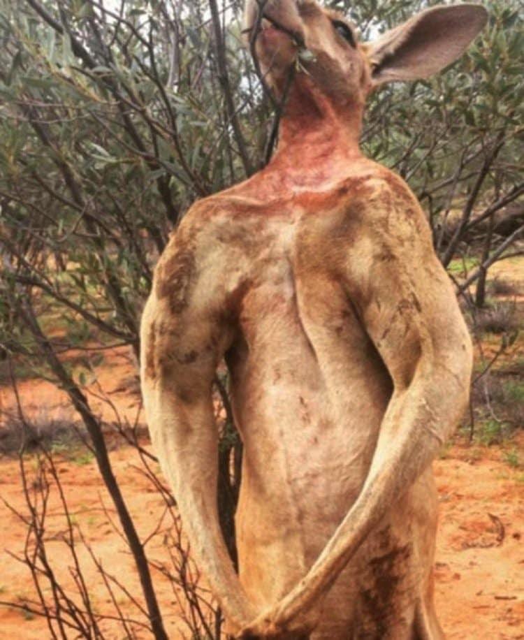 kangaroo-buff