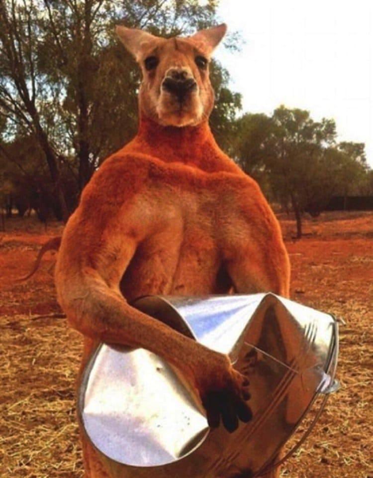kangaroo-muscular