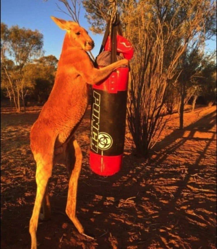 kangaroo-punching-bag