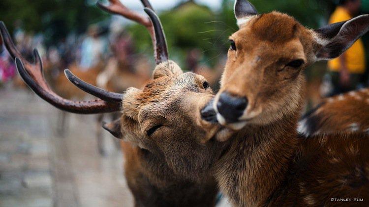 kiss-deer
