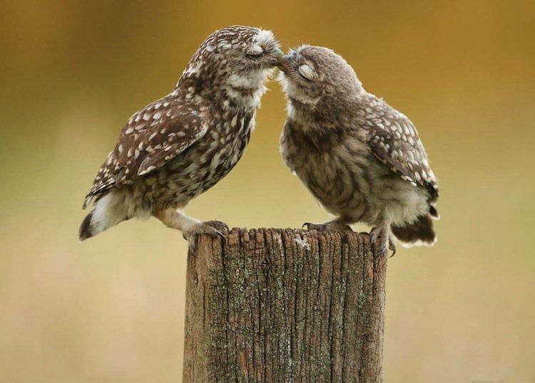 kiss-owls