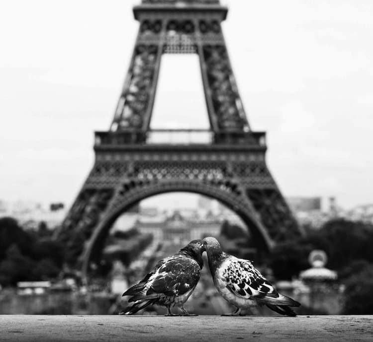 kiss-pigeon