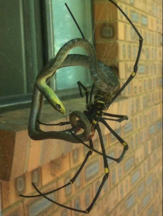 spider entangled snake