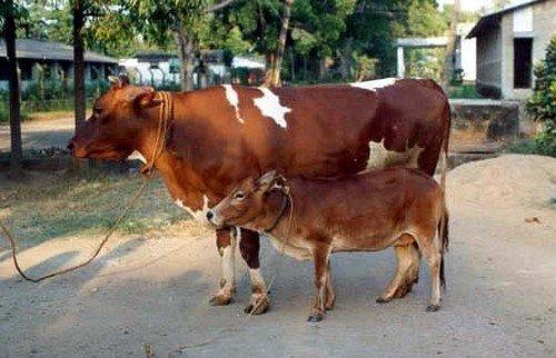 tiny cattle