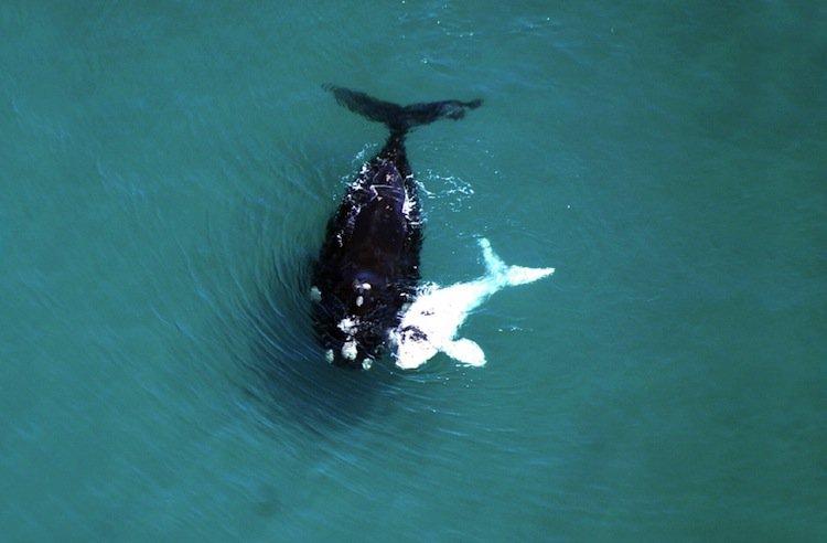 whale-albino