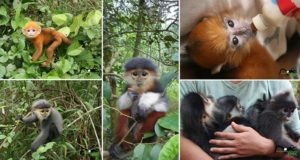 Adorable Highly Endangered Baby Monkeys
