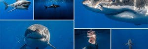 Images Great White Sharks