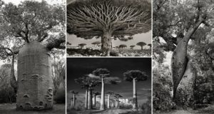 Photos World's Oldest Trees Beth Moon