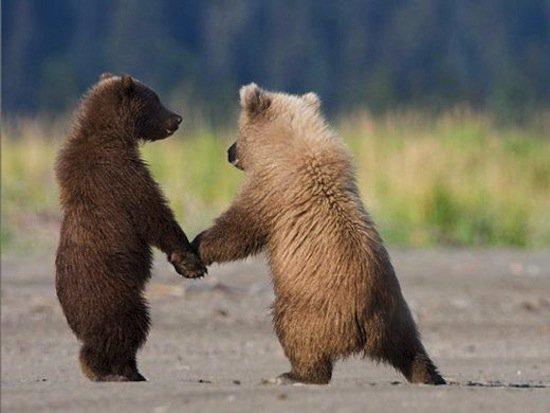 animals-bear