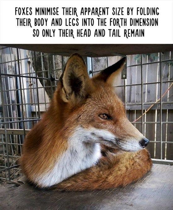 animals-foxes