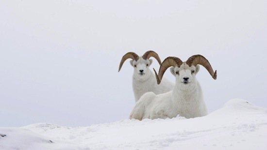 animals-goats