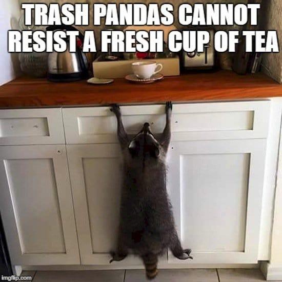 animals-pandas