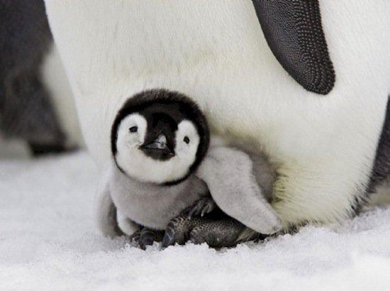 animals-penguin