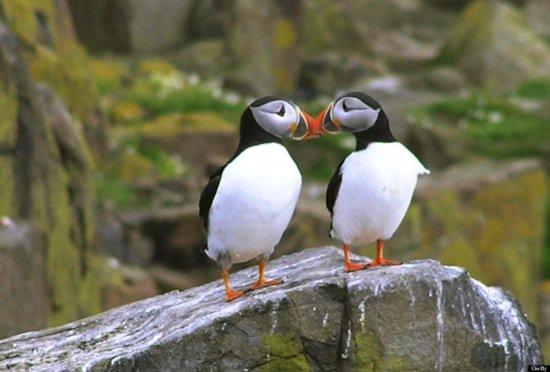 animals-puffins