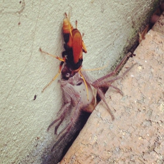 aussie-hornet