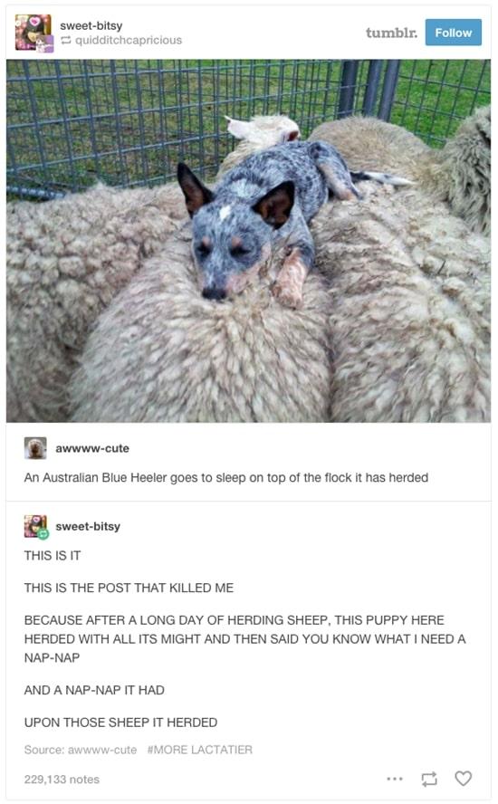 australian-wildlife-blue-heeler
