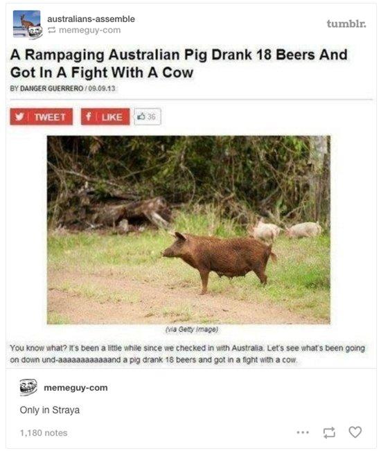 australian-wildlife-drunk-pig