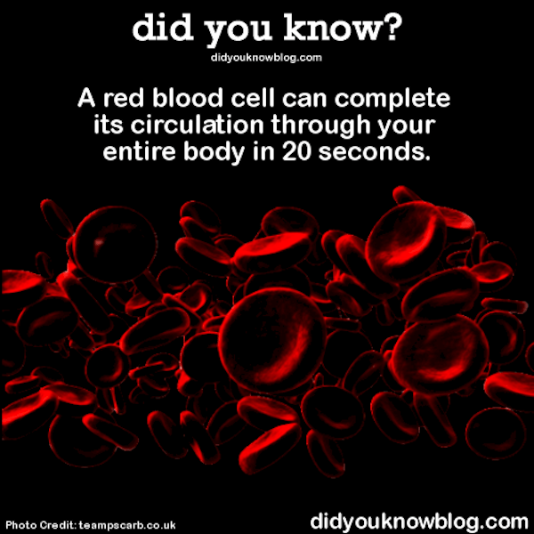a red blood cell can circulate your entire body in 20 seconds