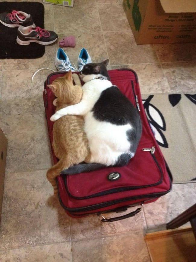 cuddle cats case