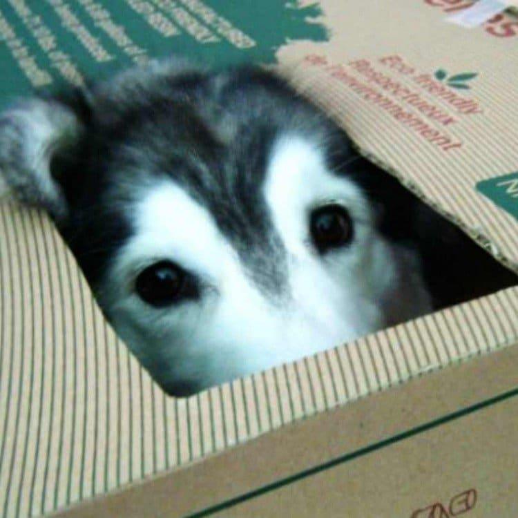 dog eyes box