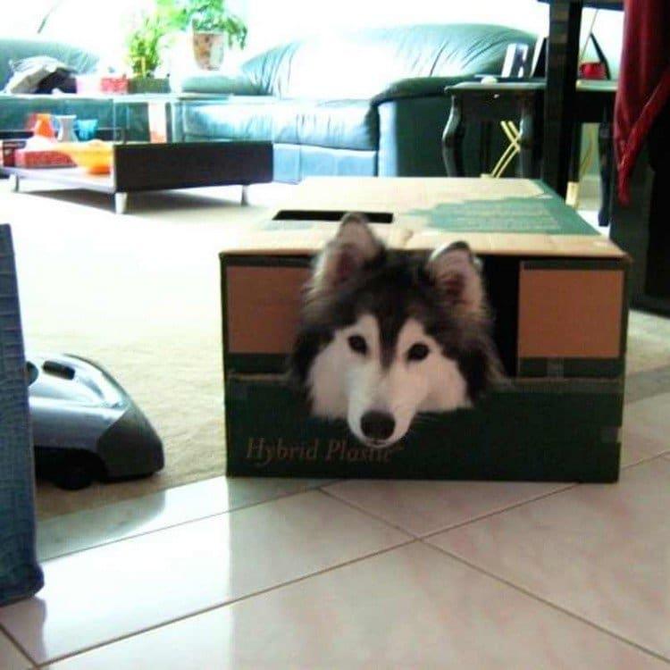 dog head box