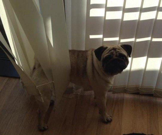 dog stuck blinds