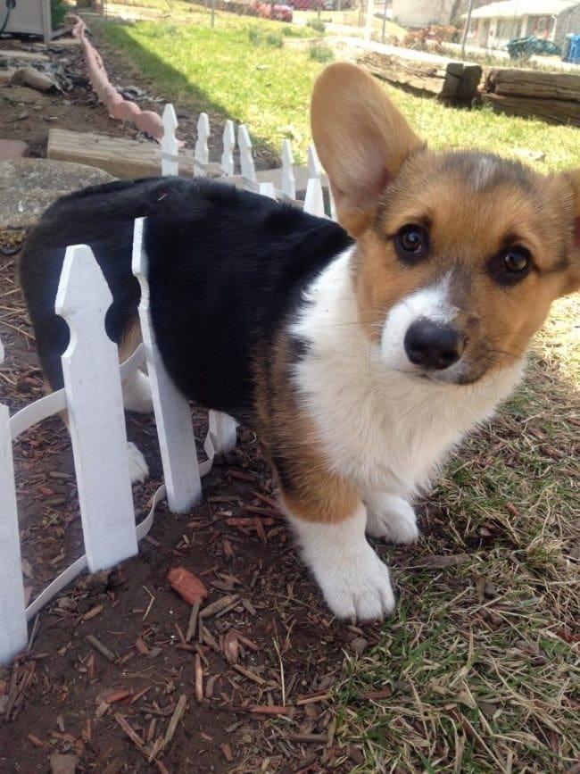 dog stuck fence