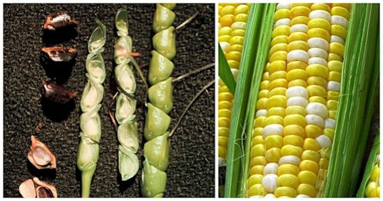 fruits-corn