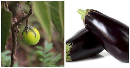 fruits-eggplant