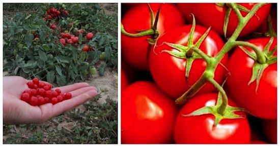 fruits-tomato