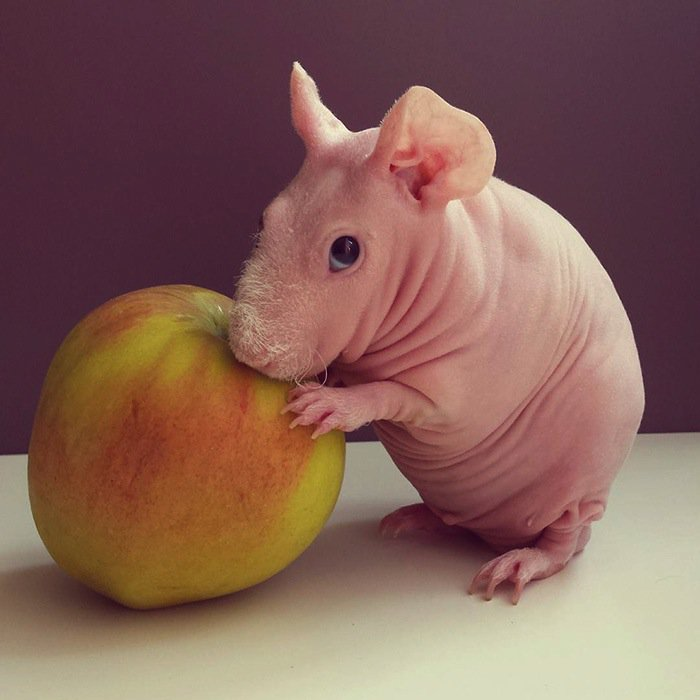 guinea-apple