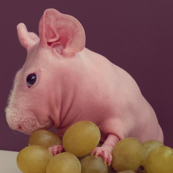 guinea-grape
