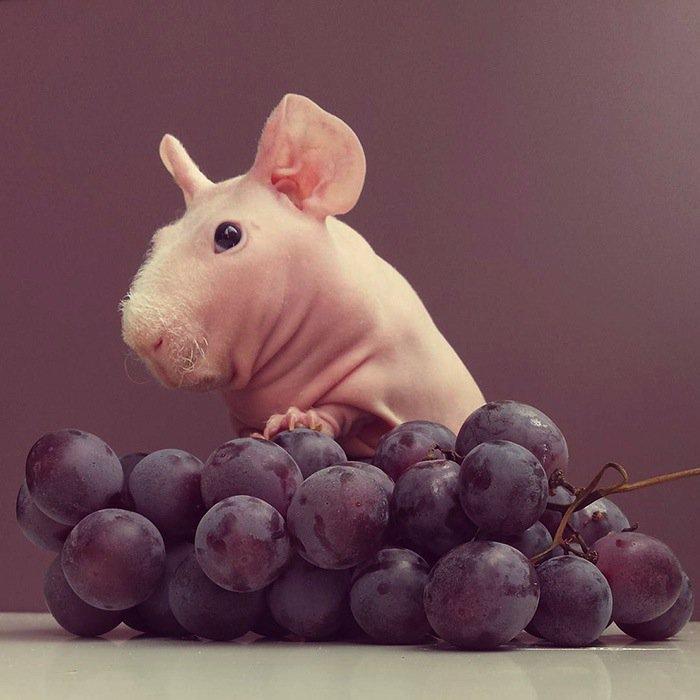 guinea-grapes