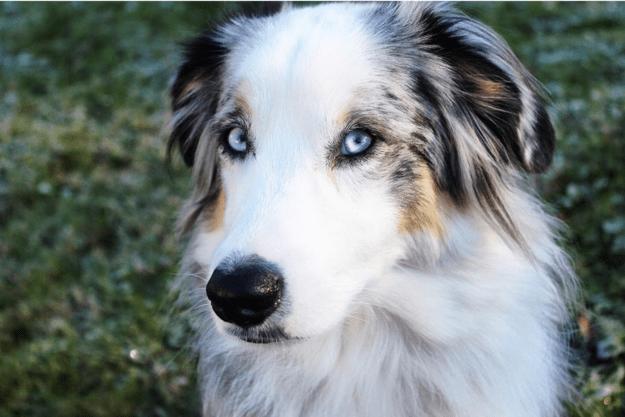 handsome-dogs-blue
