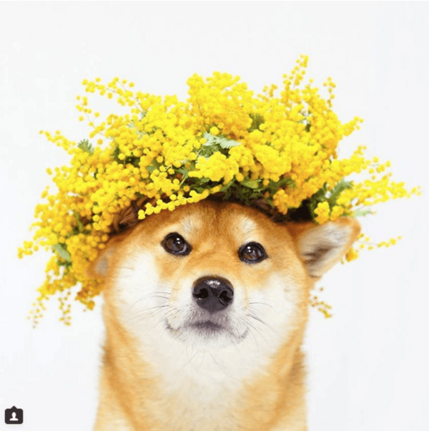 handsome-dogs-crown