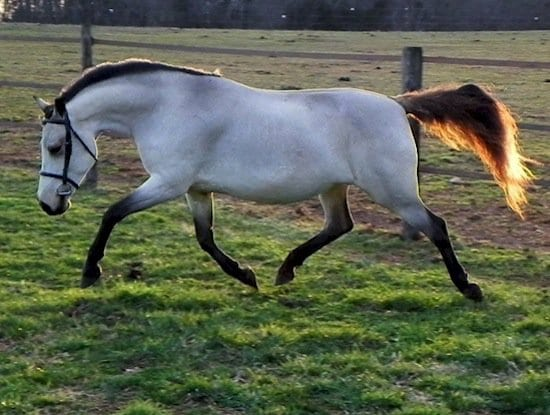 horse-buckskin